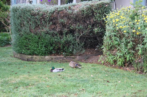 Ducks on the front lawn